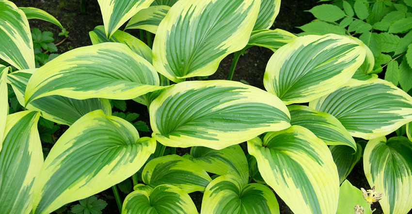 What Animals Eat Hostas Watch Out For These Pests In The Garden
