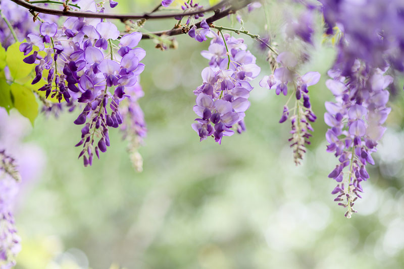 Blooming Wisteria Flowers