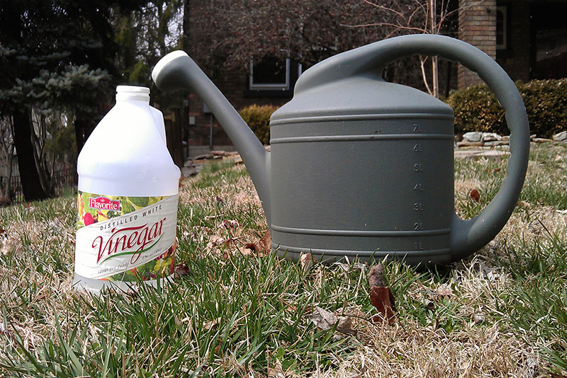Using Vinegar to Kill Chickweed