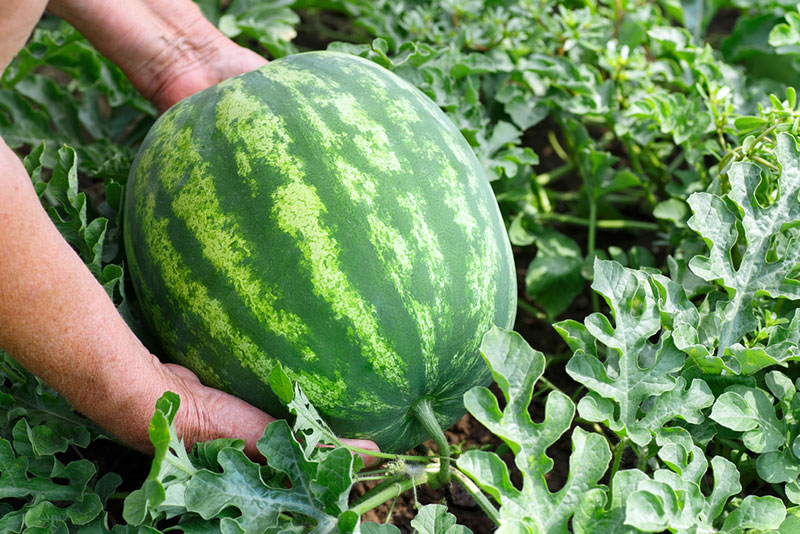 Watermelon Growing in the Garden