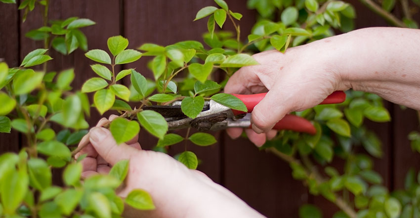 How to Prune Climbing Rose