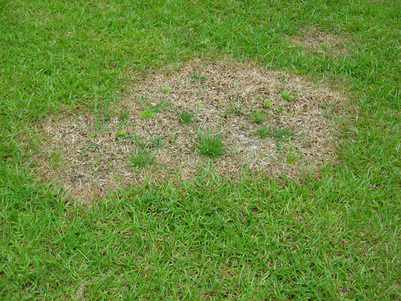 Brown Patch Lawn