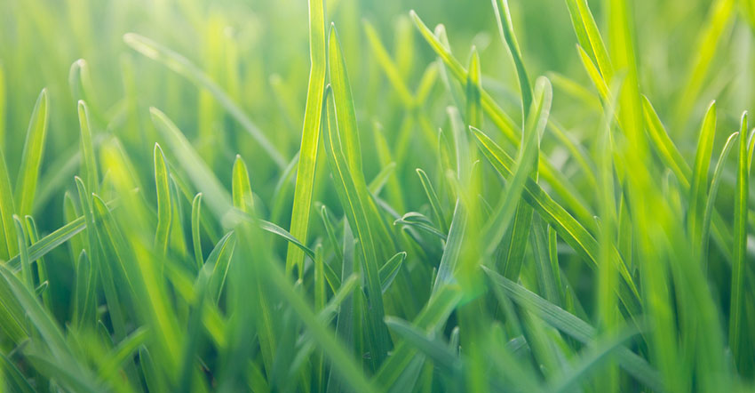 How to Grow Buffalo Grass